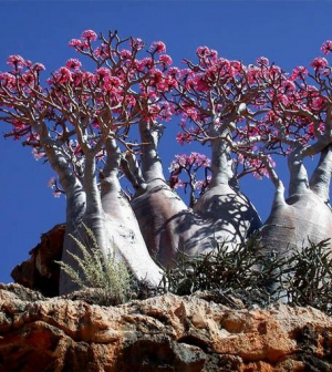 Socotra, a furcsa növények szigete