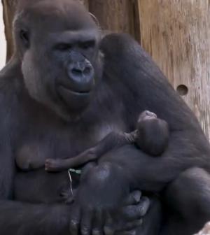 Tizenhat év után először, végre gorillabébi született a Berlini Állatkertben