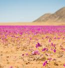 Virágzik az Atacama sivatag egy része